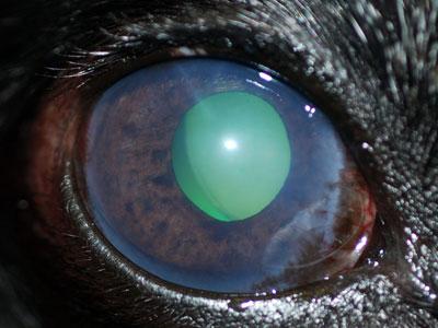 Glaucoma cane di tipo primario cronico
