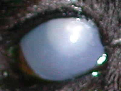Glaucoma cane di tipo acuto